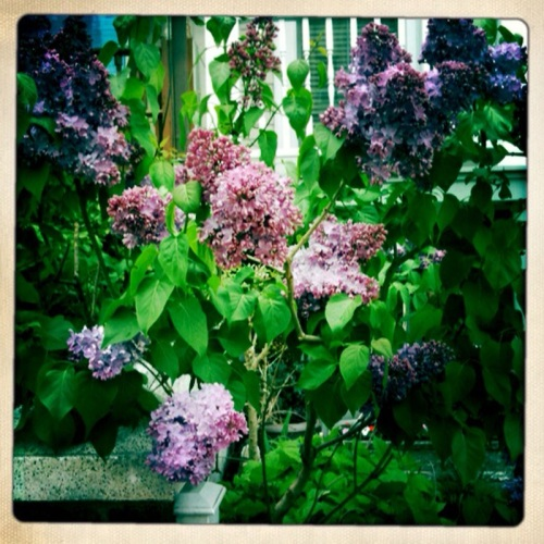 lilacs with Hipstamatic